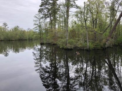 Dismal Swamp3 Geese