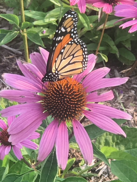 Monarch photo by Bill from Oregon